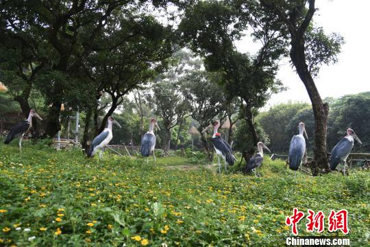 深圳野生动物园小秃鹳迷上到隔壁大学城串门(图)