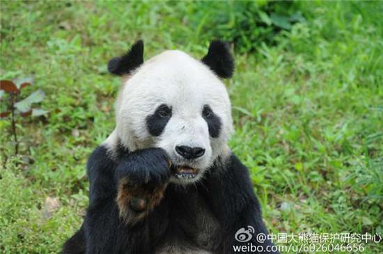"""世界最年长雄性大熊猫""""盼盼""""去世 享年31岁"""
