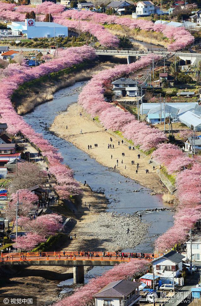 日本早樱绽放