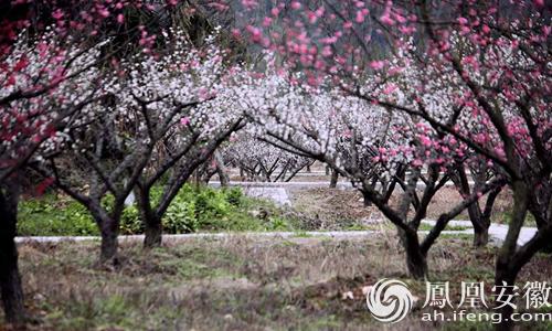 安徽凤桐树图片