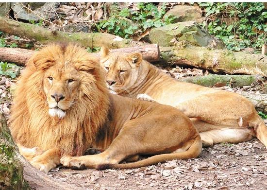 壁纸 动物 猫科 狮子 桌面 550_391