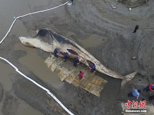 上海死亡鲸鱼被解剖 开始标本制作