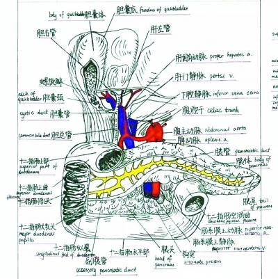 医学女生手绘人体解剖图似印刷品