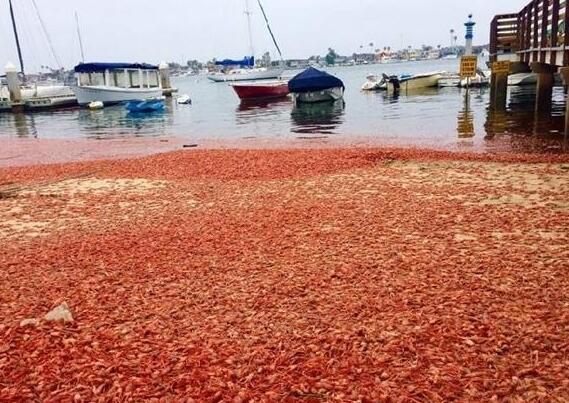 美国加州海岸遭小龙虾入侵 网友:中国吃货组
