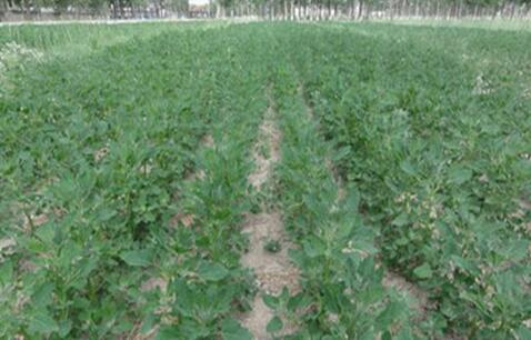 聚焦粮食安全 分享高新康健藜麦种植经验