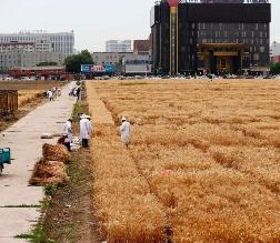 北京最贵试验田收割