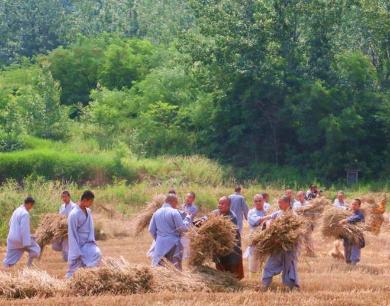少林寺众僧手工收麦 现场表演少林武术