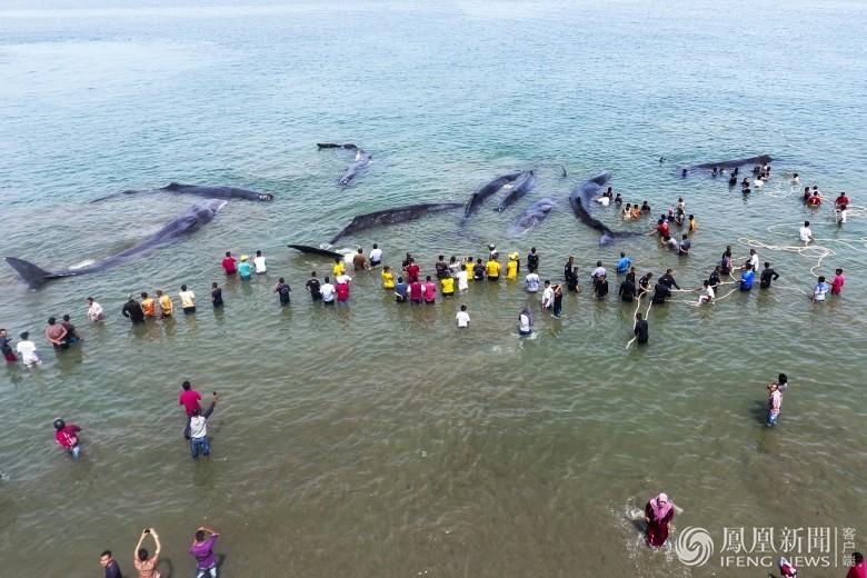 印尼12条巨鲸搁浅 过百民众营救 (组图)