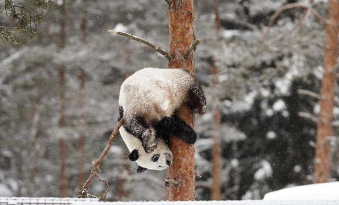 赴芬兰大熊猫异国过年