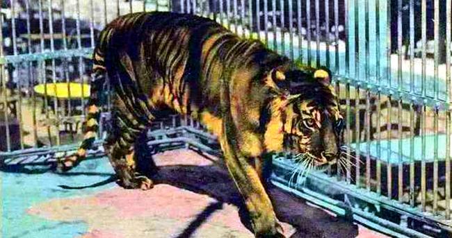 近代最不可思议的灭绝动物,最后一个数量比人还多