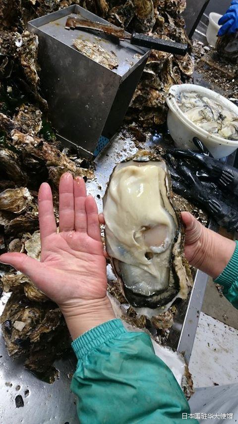 日本福岛惊现巨型生蚝 日驻华使馆证实:正常现象