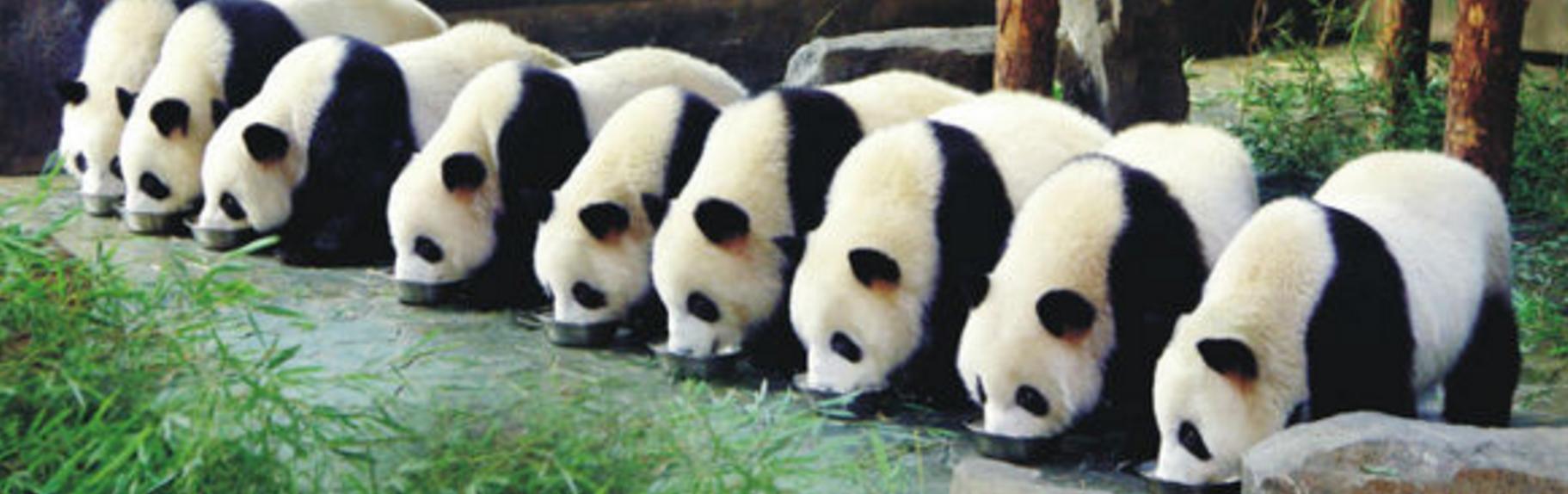 记者在上海野生动物园熊猫馆内