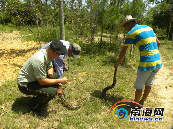 2.5米长大蟒蛇闯进文昌农户家 边防民警抓获后放生