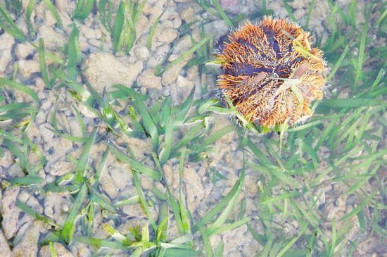 生长在海草床里的海胆。