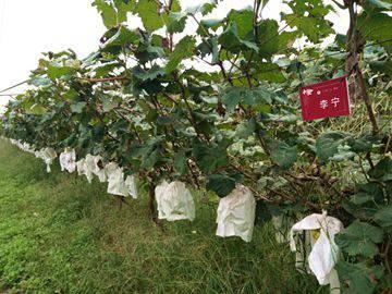 认养一棵葡萄树免费葡萄吃两年