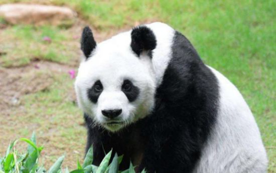 """什么?动物园的熊猫过生日跟我有什么关系?可是学校把作业布置下来了,没办法只能照做。 孩子他爸现在已经是部门主管,每天下班到家都一两点,肯定指望不上。 而我,虽然能准点下班,可是对于手工也是一窍不通。 """"妈妈,你一定要帮帮我,老师说了,只有优秀的学生才能参加动物园的活动,我们全班同学都想去呢!"""