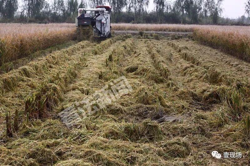 超级稻启动收割