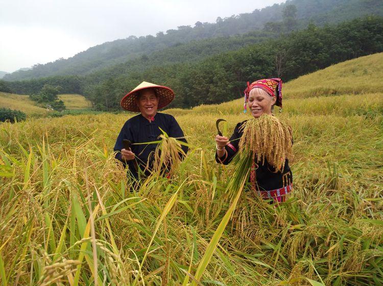 海南山兰稻谷成熟风景