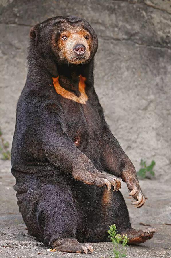 瑞士巴塞尔动物园的雌性马来熊.图片:tambako the jaguar / flickr