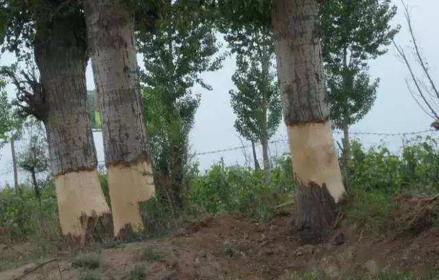 谁下的毒手?一夜之间,海南162棵珍贵老树竟被活活剥皮