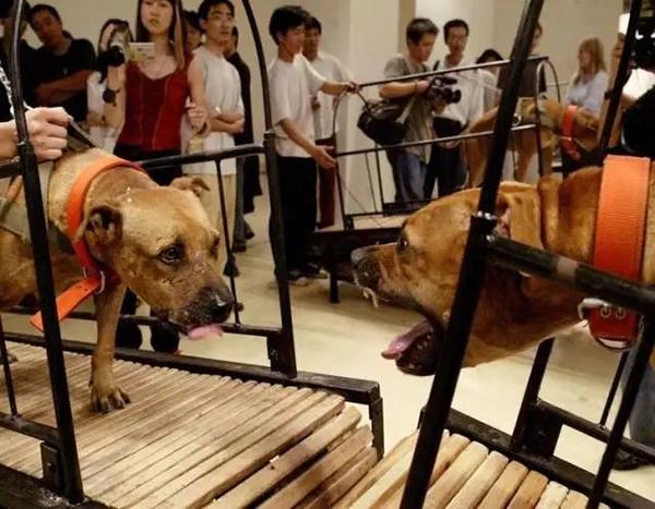 孙原和彭禹,《犬勿近》古根海姆美术馆即将开幕的展览遭到动物权益人士反对,随后移除了这件呈现8头比特犬在跑步机上的影像作品。这段7分钟长的录像作品呈现了四对拴在跑步机上的美国比特犬面对面地竞跑,但又无法碰到彼此。在这部短片中,这些比特犬似乎已经疲惫不堪,狼狈不堪。尽管依旧失败,但却不懈的努力着。