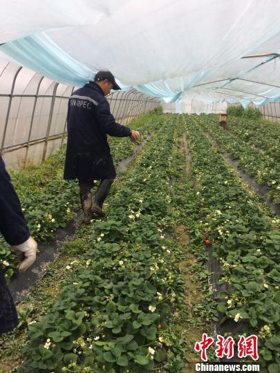 图为草莓大棚。受访者提供