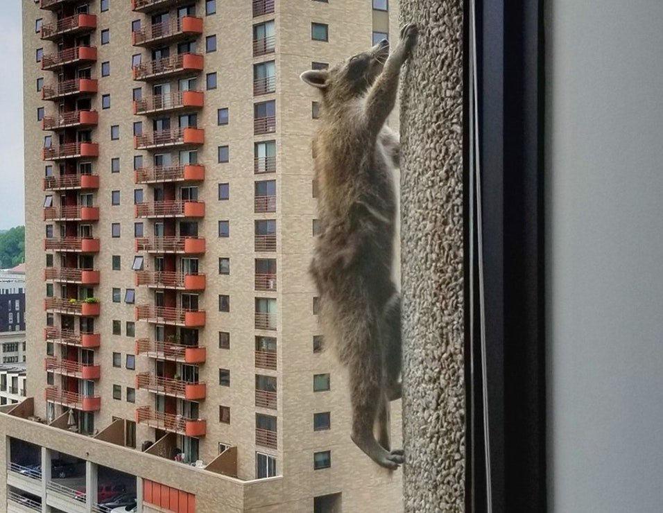 """""""徒手""""登顶25层高楼 全美国都在围观这只浣熊"""