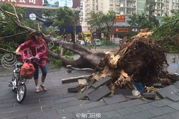 """2016年台风""""莫兰蒂""""登陆福建厦门后,大风将树木连根拔起。(来源:厦门日报)"""