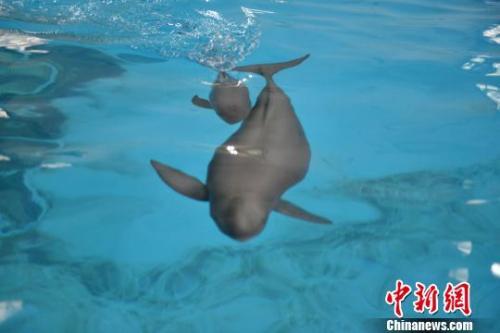 """小江豚同它的母亲""""福七""""在水中嬉戏。中科院水生所供图"""