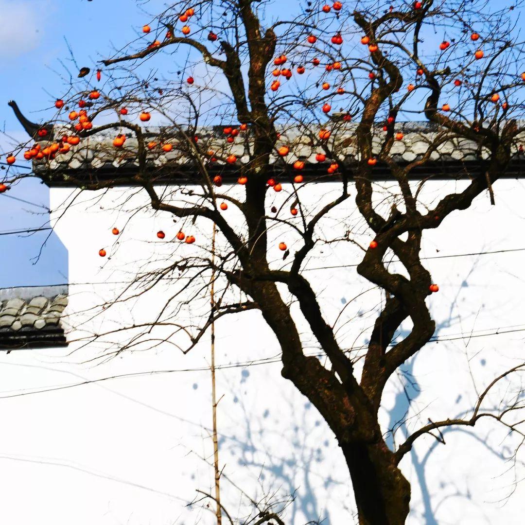 秋风起柿子红 浙江这些色彩斑斓的柿子村惊艳了!