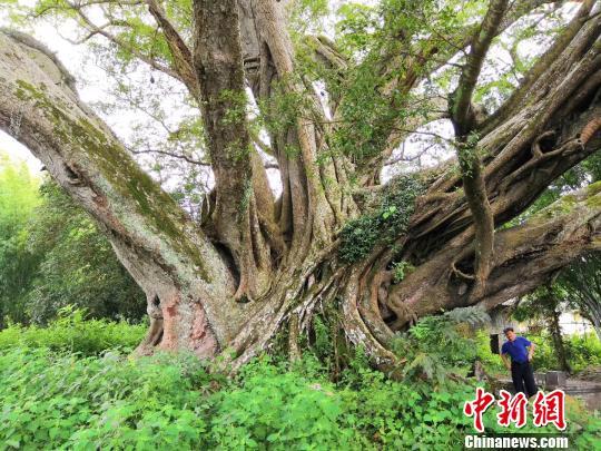 广东为逾8万株古树名木建档实现一张图动态管理