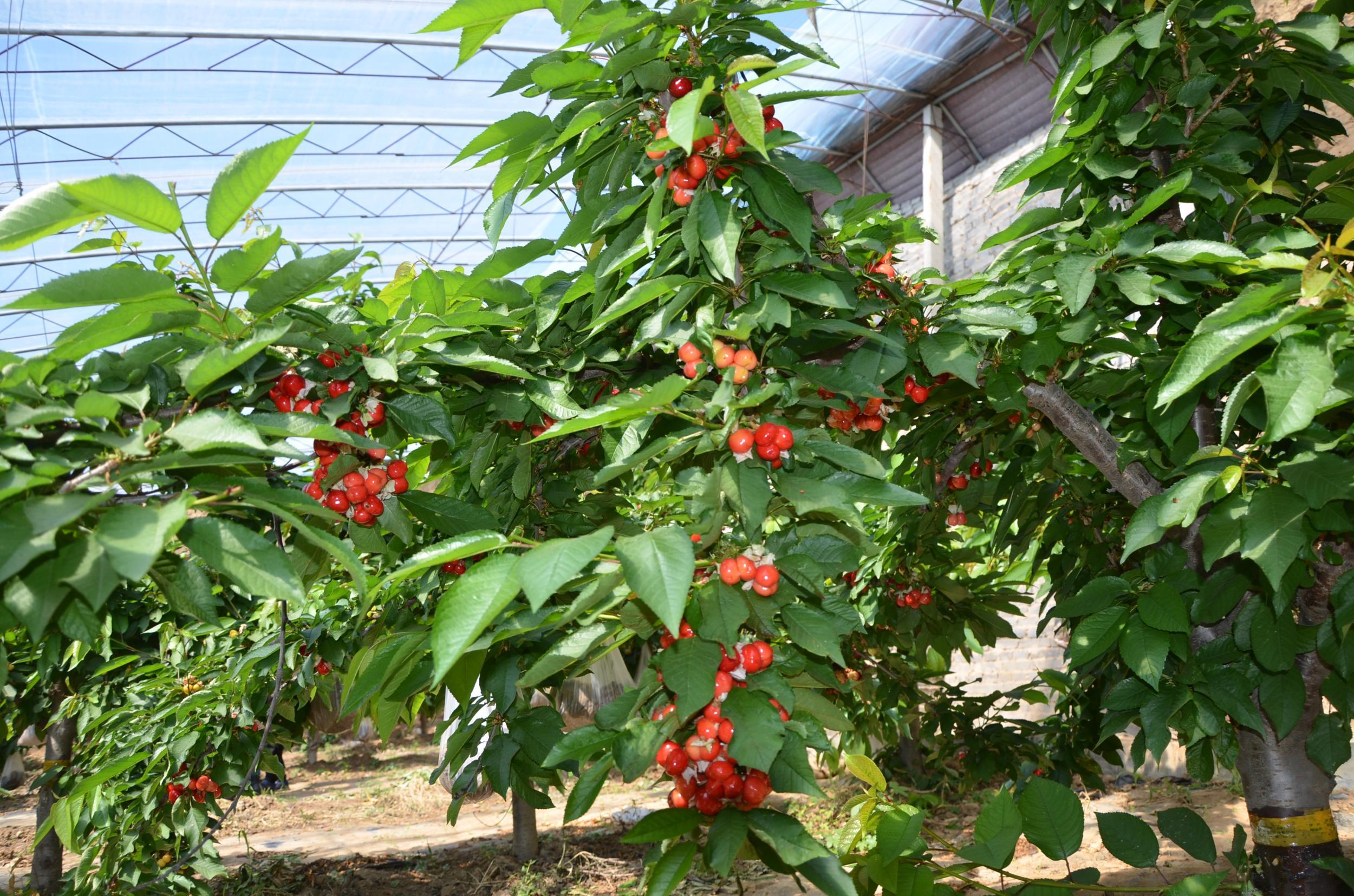 河北润尚生态观光采摘园首批樱桃成熟石家庄采摘又多一好去处