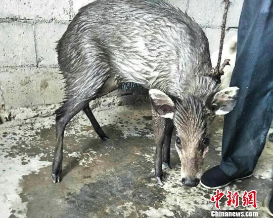 湖北五峰:毛冠鹿误落水塘众人助其回家