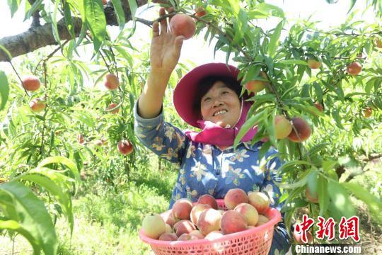图为桃农喜摘鲜桃。 张因祥摄