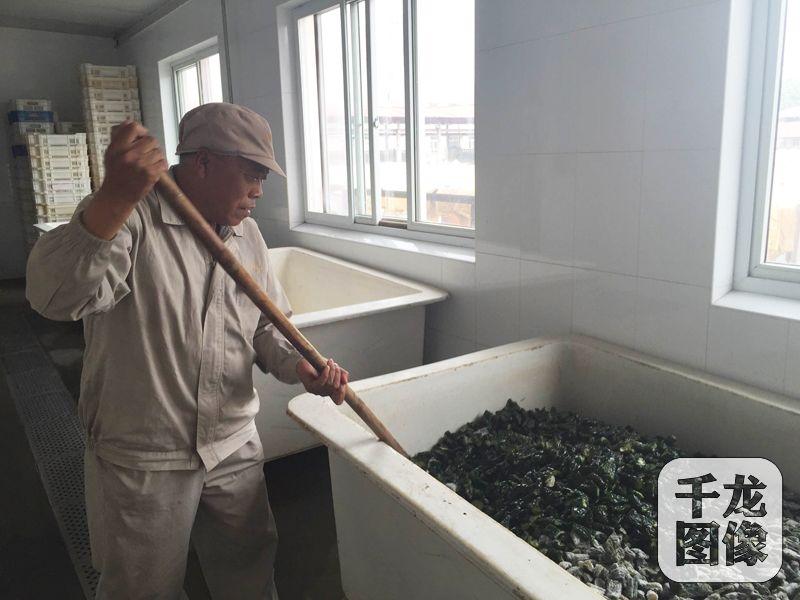 """位于北京城南的六必居传统酱菜厂,保留着纯手工制作酱菜。图为酱菜制作第一步,用盐腌渍便于保存。黄瓜条上的白色为析出的盐分,杨银喜隔段时间给黄瓜""""翻身"""",让酱菜得到充分的腌渍。千龙网记者秦胜南摄"""
