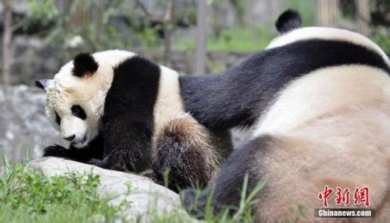 实拍成都大熊猫给幼仔洗澡 呆萌可爱(组图)