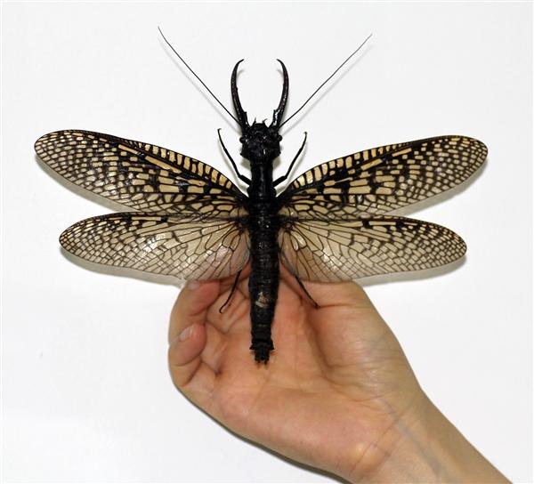 中国昆虫第一次上榜吉尼斯:这也太大了!