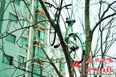 热心肠的许先生试着爬上树,将自行车取下,但是由于挂在树上的这辆共享