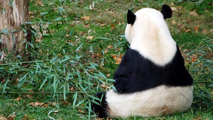 大熊猫 动物 690
