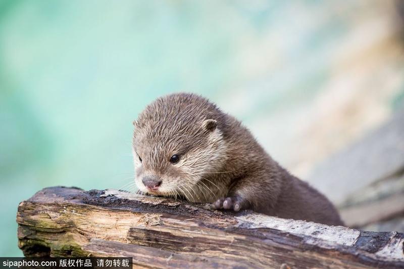 英国动物园小水獭 天生自带卖萌属性