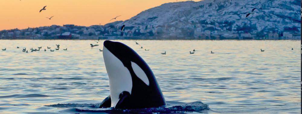 体育资讯_海昌虎鲸表演遭声讨、盈利大幅下滑 以科普为名的鲸豚商演能走 ...
