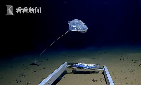 87深海怪物發藍光似傘兵