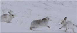 """两只山兔为了争妹子雪地互殴 竟打出""""咏春""""的效果"""