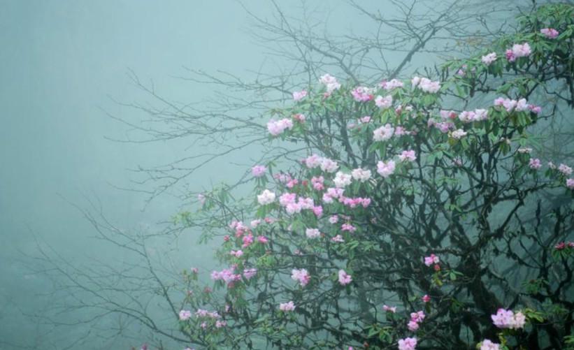 四川瓦屋山上万亩高山杜鹃花盛开