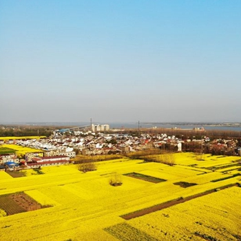 安徽安徽赏花地图|枞阳 油菜花开遍地金
