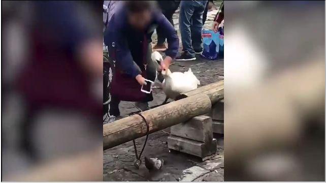 疑中国游客在瑞士喂天鹅纸巾还掐脖子