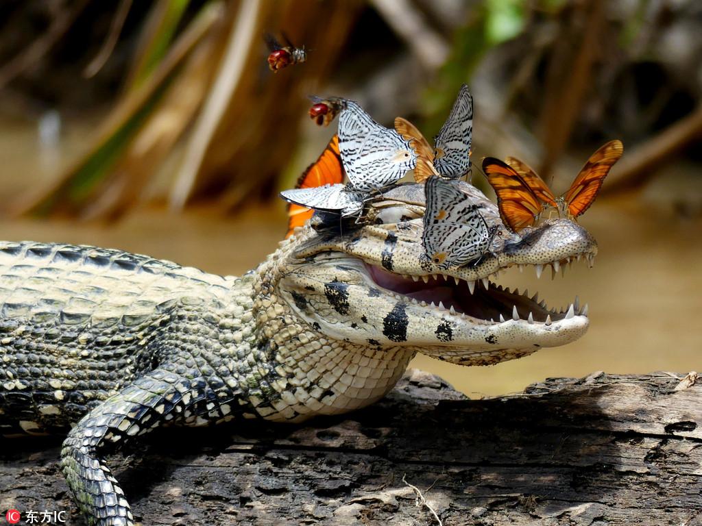 狸和鳄鱼_鳄鱼头部招蜂引蝶 张嘴微笑心情愉悦(组图)